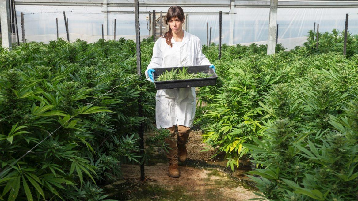 usages thérapeutiques du Cannabis